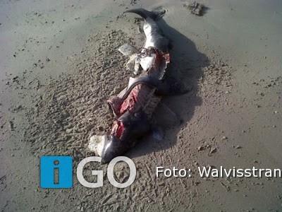 iGO Nieuws - Actueel - Bruinvissen verminkt aangespoeld ...  Verminkt