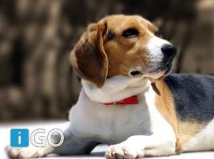 Puppycursus verstandig als basis sociaal opgevoede hond