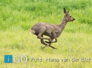 Natuurfotograaf Hans van der Elst fotografeert reeën Slikken Flakkee