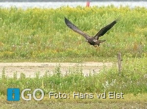 Hans van der Elst: De Zeearend op Goeree-Overflakkee