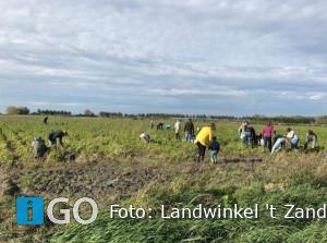 Geslaagde actie bij boer: Herhaling winterwortelen rooien in Stad aan 't Haringvliet