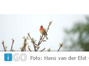[update boswachter] Hans vd Elst zet zeldzame Roodmus op de kiek Slikken v. Flakkee
