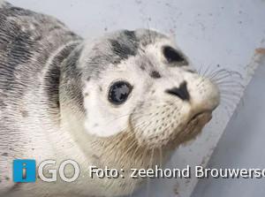 [video] Verslag Zeezoogdierenhulp Kop van Goeree