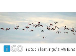 Natuurfotograaf Hans vd Elst legt Flamingo's Grevelingen weer prachtig vast