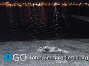 Jonge zeehond bij helling Port Zélande Ouddorp