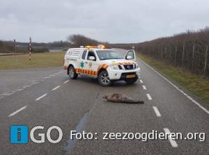 Grijze zeehond op parallelweg Brouwersdam Ouddorp