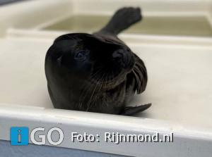 Zeldzame zwarte zeehond zeehondenopvang A Seal Stellendam