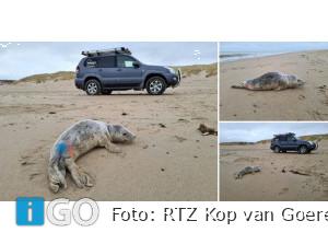 Grijze zeehond met wonden in nek gevonden op strand Ouddorp