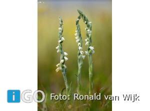 Bijzondere groep planten langs kust Goeree-Overflakkee in beeld