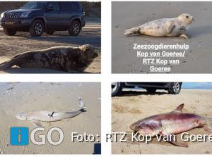 Melding maken van zeehonden(pups) of haai strand Ouddorp