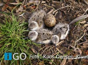 Nieuwe camera bij kustbroedvogels op eiland Bliek in Haringvliet