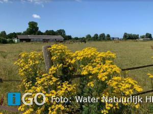 Water Natuurlijk adviseert in rapport: Jakobskruiskruid niet bestrijden