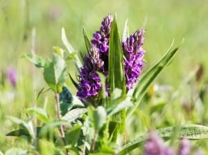 Twee keer bijzondere excursie: Orchideeën in Westduinen Ouddorp