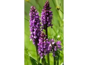 Eiland Goeree-Overflakkee: Wilde orchideeën, Keizerlibelle, Bontbek plevier!