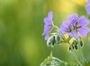 Subsidie: minder tegels en meer groen in tuinen Goeree-Overflakkee