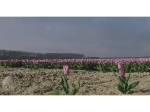Video tulpenpracht op Goeree-Overflakkee