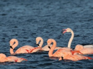 Roze Zondag - Flamingo's Spotten in de Grevelingen