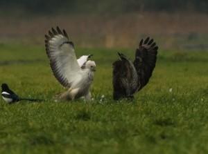 Natuurfotograaf Hans van der Elst legt vechtende Buizerds vast