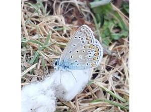 Boeiende lezing over vlinders bij PCOB Goeree-Overflakkee