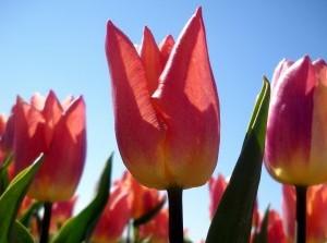 Doe mee voor het goede doel met Curamare Tulpenrit 2019