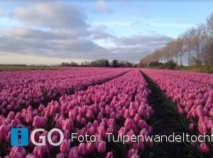 8e Tulpenwandeltocht: recordaantal tulpenvelden Goeree-Overflakkee